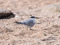 A Little Crested Tern - Sterna bengalensis - Thalasseus - walks along the beach on the shores of the Mediterranean sea in search o. F prey royalty free stock photo