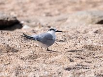 A Little Crested Tern - Sterna bengalensis - Thalasseus - walks along the beach on the shores of the Mediterranean sea in search o. F prey stock image