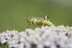 Little cricket. Leaving the cover of flowers after a summer rain Stock Photography