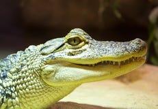 Little crocodile in vivarium Stock Photography