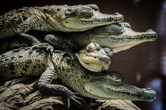 Little crocodiles resting and stacked. Supporting each other Royalty Free Stock Image