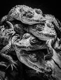 Little crocodiles resting and stacked. Supporting each other Royalty Free Stock Photos