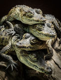 Little crocodiles resting and stacked. Supporting each other Stock Photography