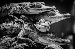 Little crocodiles resting and stacked. Supporting each other Stock Photos