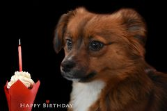 Little puppy dog at his first birthday. Little crossbreed puppy dog with big eyes celebrating his first birthday with cup cake and candle stock photo
