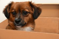 Little puppy dog with big astonished  eyes in paper box. Little crossbreed puppy dog with big eyes  sitting in a cardboard box Royalty Free Stock Photography