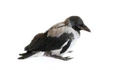 Little crow Stock Photos