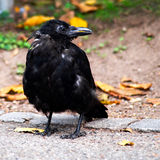 Little crow. In a park looking sideways stock image