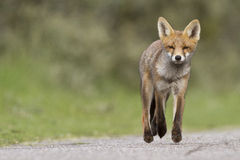 Little cub red fox Stock Photography