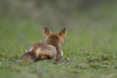 Little cub red fox Stock Photos
