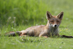 Little cub red fox Stock Images