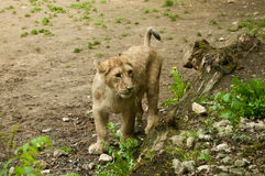 Little cub Royalty Free Stock Photo