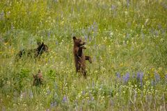 Little cubs discovering the world, Waterton Lakes NP. Canadian bears, canadian wildlife, blooming meadows with bears, spring time in canada royalty free stock photography