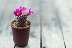 Little cuctus pot plant with blooming flower on wood table with blur green garden background. Little cuctus pot plant with blooming pink flower on wood table Royalty Free Stock Image