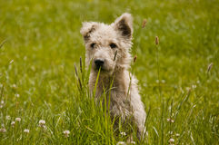 Little cuddly dog sitting in grass Royalty Free Stock Photo