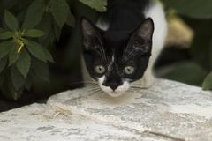 Little curious cat staring and playing around. Beautiful eyes. M. Acro photo Royalty Free Stock Photos