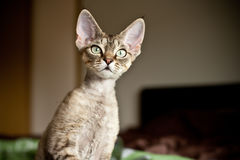 Funny Devon Rex kitten is looking what is going on. Cute cat with green eyes. Cat portrait with curiosity expression Royalty Free Stock Photography