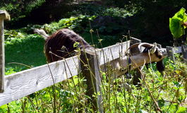 Little curious goat try to eat away his fence Royalty Free Stock Photos