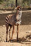 Curious zebra foal in summer royalty free stock images