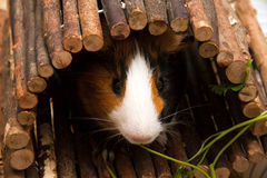 Little curious guinea pig eating parsley leaves Royalty Free Stock Image