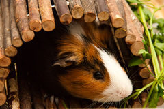 Little curious guinea pig Royalty Free Stock Image