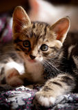 Little curious kitten. Pretty kitten looks curious at camera Royalty Free Stock Photo