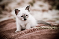 Little curious kitten. Pretty kitten looks curiously forward and prepares for a jump Royalty Free Stock Photo