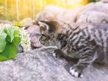 Cute kitten walking on the green grass and does not want to smell white flowers stock images