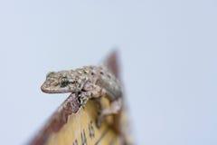 Little Curious Lizard Royalty Free Stock Photos