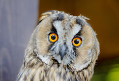 Little curious owl, close up Royalty Free Stock Images
