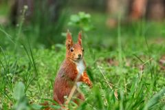 Little curious squirrel brown in the grass royalty free stock photos