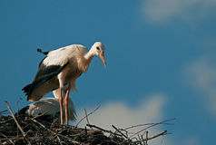 A little curious young white stork (Ciconia ciconia) on the nest Stock Image