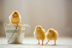 Little cute baby chicks in a bucket, playing at home Stock Photography