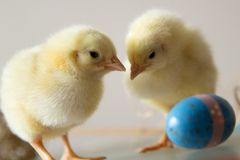 Two young chickens playing stock photos