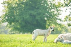 Little cute baby lamb on a spring field with resting mother sheep. Copy space. Selective focus. royalty free stock photography