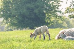 Little cute baby lamb on a spring field with resting mother sheep. Copy space. Selective focus. stock images