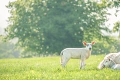 Little cute baby lamb on a spring field with resting mother sheep. Copy space. Selective focus. stock photo