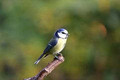 Little cute bird Royalty Free Stock Photography