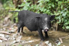 Little cute black baby pig in a farm in Sapa, Lao Cai, Vietnam.  royalty free stock photography