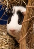 Little cute black and white guinea pig close up stock images