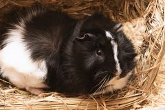 Little cute black and white guinea pig close up stock photo