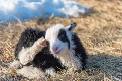 Little cute black and white lamb in a cold sweden royalty free stock images