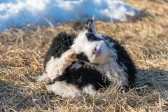 Little cute black and white lamb in a cold sweden stock images