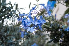 Little cute blue flowers with blurry background stock images