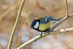 Little cute blue tit sitting on a branch Royalty Free Stock Image