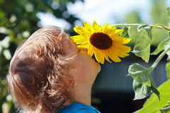 Little cute boy sniffing sunflower on a sunny day Royalty Free Stock Image
