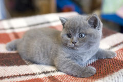 Little cute British kitten. Little cute kitten, British cat breed, pet, British Shorthair blue female, Cat is a pedigree, beautiful house cat, Cheshire smile royalty free stock photos