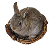Little cute brown rabbit Stock Image