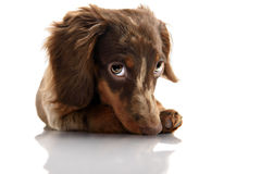 Little cute brown spotted dachshund puppy Stock Photos