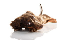Little cute brown spotted dachshund puppy Royalty Free Stock Photos